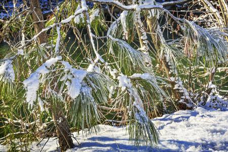 fur trees: Snowy Fur Trees Winter Leaves Snow Ice Wenatchee River Stevens Pass Leavenworth Washington