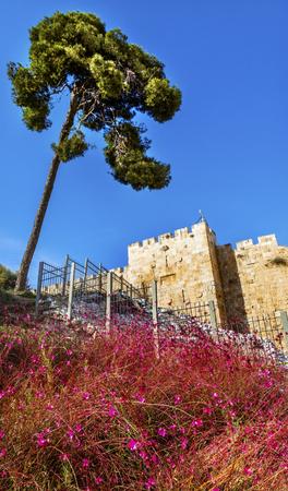 Pink Flowers Near City Walls Jerusalem Israel.  Imagens