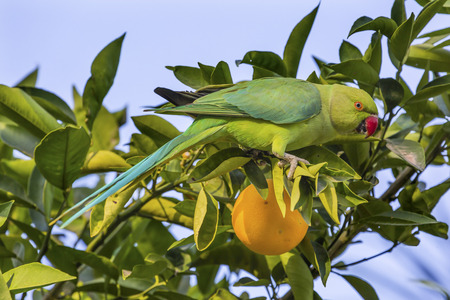 Green Rose Ringed Ring Necked Parrot Parriokeet Orange Tree Sea of Galilee Israel