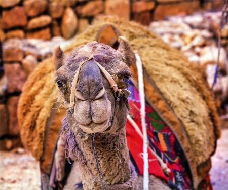 one humped: Camel Close Up Looking Treasury Siq Petra Jordan Petra Jordan.  Camelus dromedarius, one humped camel used in Middle East.  Camels are used to give rides and carry things. Stock Photo
