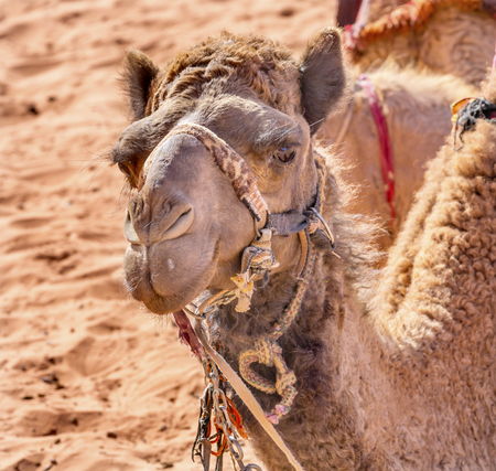 te: Camel Close Up Wadi Rum Valley of the Moon Jordan.  Inhabited by humans since prehistoric times, place where TE Lawrence of Arabia in the early 1900s Stock Photo
