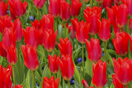 Red Tulips Green Leaves Fields Keukenhoff Lisse Holland Netherlands.  Called the Garden of Europe Stock Photo