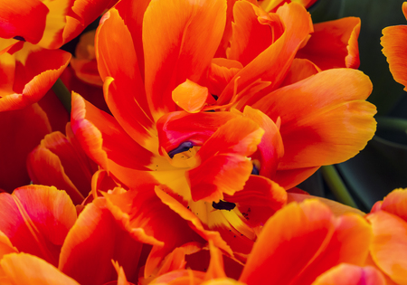 yeloow: Red Orange Peony Fancy Tulips Keukenhoff Lisse Holland Netherlands.  Called the Garden of Europe