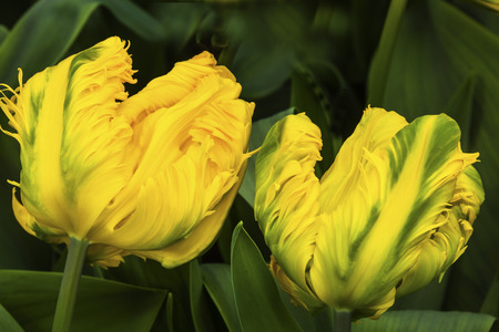 Yellow Green Fancy Peony Tulips Green Leaves Keukenhoff Lisse Holland Netherlands.  Called the Garden of Europe