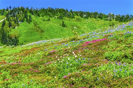 Pink Heather Blue Lupine Red Paintbrush Green Mountain Wildflowers Mount Rainier National Park Paradise Pacific Northwest Washington State Stock Photo