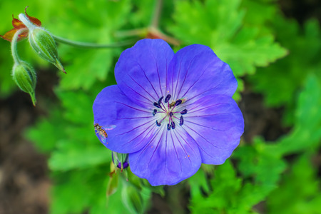 Orange Bee Hardy Blue Geranium Green LeavesMacro Close Up 版權商用圖片