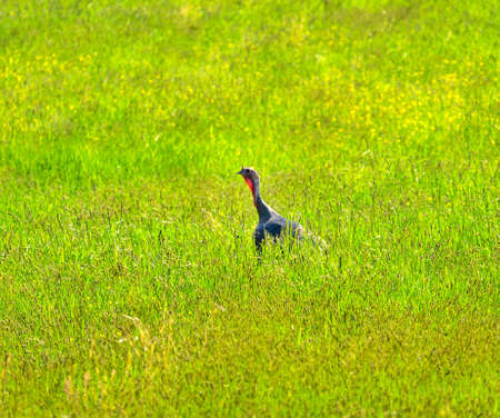 Wild Turkey Meleagris gallopavo Green Grass