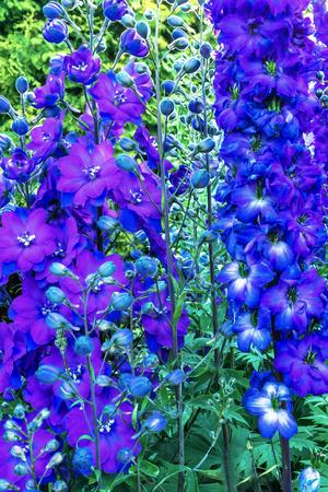 Blue White Delphinium Larkspur Perennial Van Dusen Garden Vancouver British Columbia Canada Stock Photo