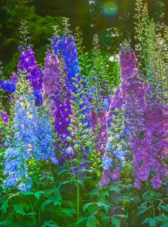 Blue White Purple Delphinium Larkspur Perennial Van Dusen Garden Vancouver British Columbia Canada