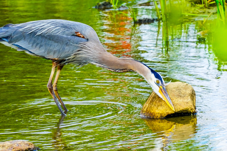 Great Blue Heron Ardea herodias Pond Vanier Park Vancouver British Columbia Canada Pacific Northwest. Stock Photo