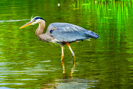 Great Blue Heron Ardea herodias Pond Vanier Park Vancouver British Columbia Canada Pacific Northwest. 写真素材
