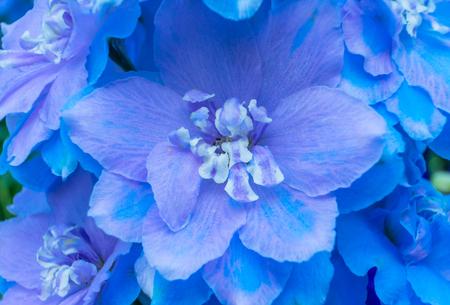 Light Blue White Delphinium Larkspur Perennial Van Dusen Garden Vancouver British Columbia Canada