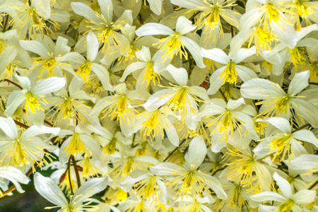 Many Flowers White Yellow California Fawn Lily Close Up
