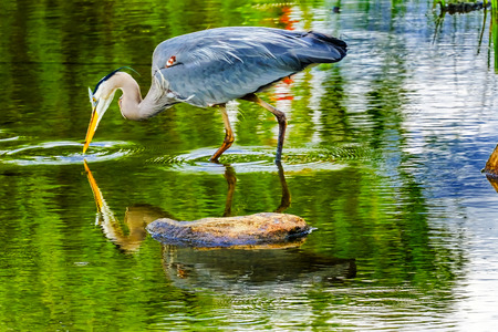 Great Blue Heron Ardea herodias Pond Vanier Park Vancouver British Columbia Canada Pacific Northwest. Stok Fotoğraf