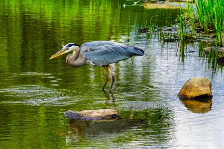 Blauwe reiger Ardea herodias Vijver Vanier Park Vancouver Brits Colombia Canada Pacific Northwest
