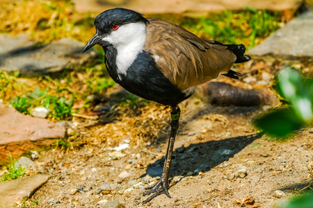 Spur-winged Lapwing Spur-winged Plover red eye