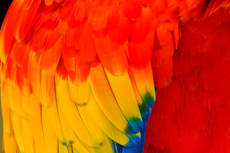 Scarlet Macaw Blue, Red, Yellow and Green Feathers Plumage Ara Macaw Close Up