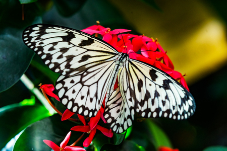 Black White Rice Paper Paper Kite Butterfly Idea Leuconoe Pink Red Flowers