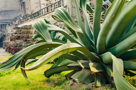Large Agave Plant Templo Mayor Mexico City Mexico. Agave used to create tequila. Temple created from 1325 to 1521