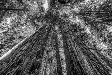 Green Towering Redwoods National Park Newton B Drury Drive Crescent City California. Tallest trees in  World, 1000s of year old, size large buildings