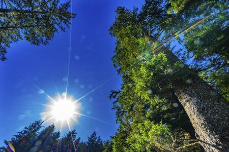Sun Star Rays Green Towering Redwoods National Park Newton B Drury Drive Crescent City California. Tallest trees in  World, 1000s of year old, size large buildings Reklamní fotografie