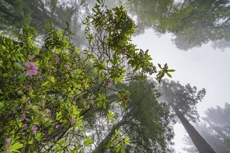 Coastal Mist Green Towering Trees Pink Rhododendron Lady Bird Johnson Grove Redwoods National Park California. Tallest trees in  World, 1000s of year old, size large buildings Stock Photo