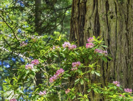 Green Towering Trees Pink Rhododendron Lady Bird Johnson Grove Redwoods National Park California. Tallest trees in  World, 1000s of year old, size large buildings Stock Photo
