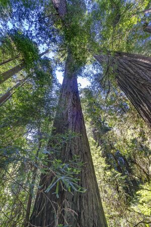 Green Towering Redwoods National Park Newton B Drury Drive Crescent City California. Tallest trees in World, 1000s of year old, size large buildings Banco de Imagens