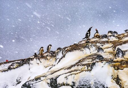 Snowing Gentoo Penguins Rookery Nests Gentoo Penguins Mikkelsen Harbor Antarctic Peninsula Antarctica.