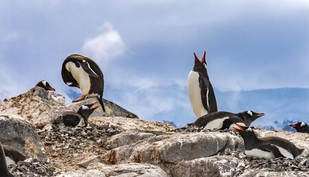 Gentoo Penguins Snow Calling For Mate Rookery Damoy Point Antarctic Peninsula Antarctica. Stock Photo