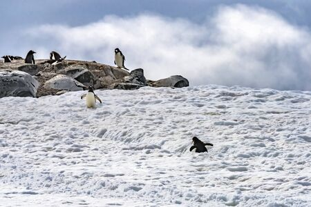 Gentoo Penguins Snow Highway Rookery Damoy Point Antarctic Peninsula Antarctica.
