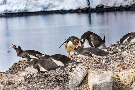 Gentoo Penguins Crying Rookery Damoy Point Antarctic Peninsula Antarctica.