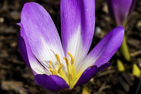 Purple Yellow Safforn Crocus Blooming Macro. Autumn crocus, produces saffron, every expensive spice.  Scientific name is crocus sativus Standard-Bild