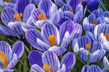 Blue Purple White Stripes Crocuses Blossoms Blooming Macro Bellevue Washington State. First flower of spring