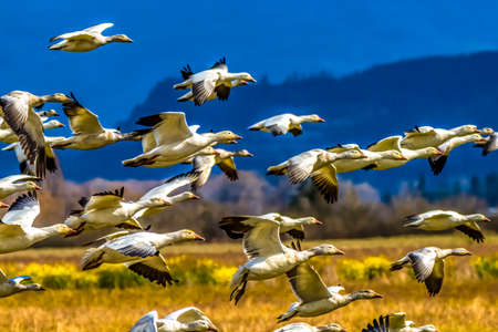 Snow Geese Flying Skagit Valley Washington