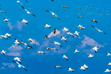 Many Snow Geese Flying Snowy Mount Baker Mountains Skagit Valley Washington