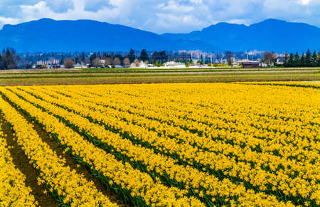 Yellow Daffodils Flowers Fields Red Farm Builiding Snow Mountains Skagit Valley Washington State Pacific Northwest