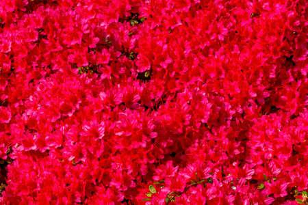 Thousands Red Encore Azalea Flowers Blooming Macro.