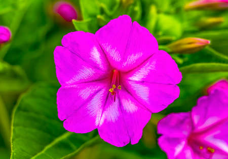 Pink Four O Clock Marvel of Peru Blossom Blooming Green Leaves Macro. Blooms in late afternoon to dusk.