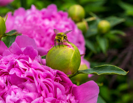 Yellow Bumble Bee Bumblebee Feeding on Nectar Pink Peony Bellevue Washington