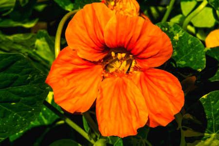 Orange Garden Nasturtium Flower Blooming Macro. Native to Americas