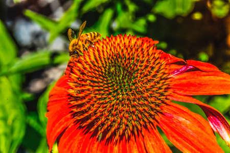 Honey Bee Orange Coneflower Blooming Macro. Native to North America