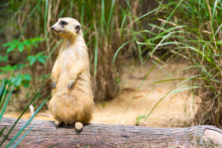 Male meerkats are responsible for sentry duty, taking turns to keep watch while the others forage. a meerkat standing upright, on a rock or branch, as its guard post to get a better view.
