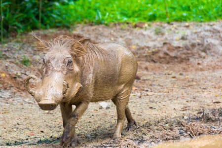 The desert warthog is a species of even-toed ungulate in the pig family, found in northern Kenya and Somalia, and possibly Djibouti, Eritrea, and Ethiopia. This is the range of the extant subspecies, commonly known as the Somali warthog