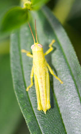 Vertical Cropped Colored photo focus on body of a green grasshopper while resting on a leaf with blurry smooth green background in a garden