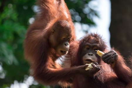 A closeup photo of a bornean orangutan Pongo pygmaeus while hanging on a vine and eating bamboo. A photo of a mother and child bornean orangutan Pongo pygmaeus Banque d'images