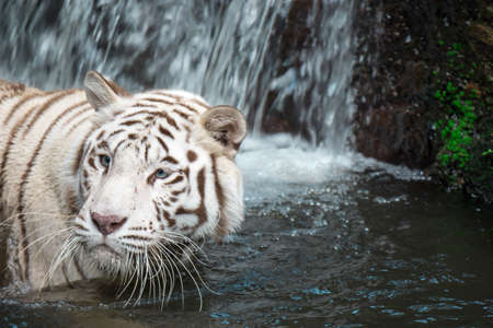 White tiger or bleached tiger and also called as Bengal Tiger while swimming in a river hunting for food