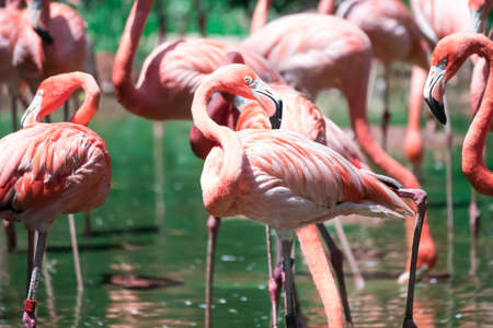 Flock of greater flamingos or Caribbean Flamingo (Phoenicopterus roseus)