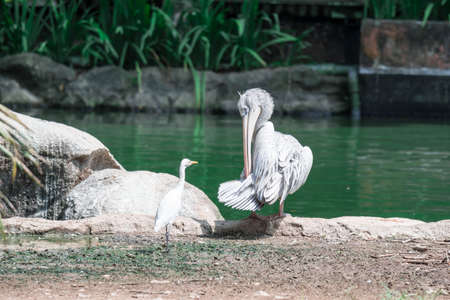 Great white pelican (Pelecanus onocrotalus) aka the eastern white pelican, rosy pelican or white pelican