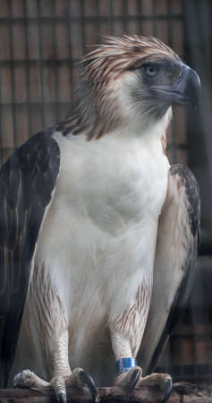 A Philippine Eagle also known as the Monkey-eating Eagle